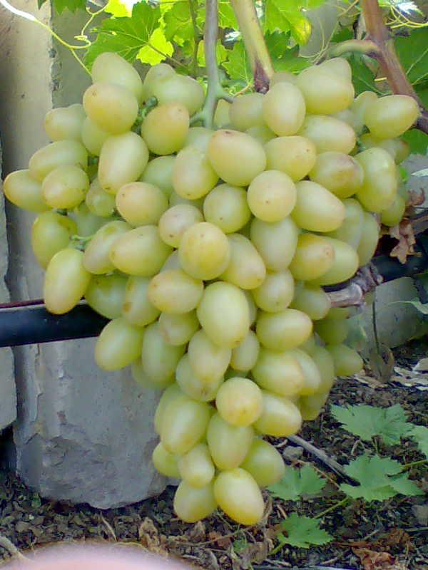 Виноград, сорт Аркадия