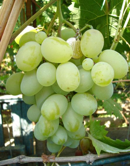 Виноград, сорт Подарок Запорожью