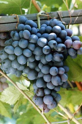 Виноград, сорт Восторг Черный