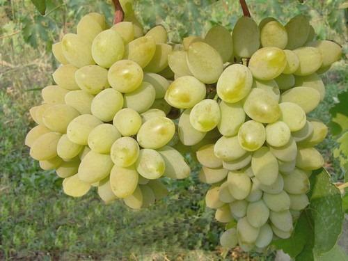 Виноград, сорт Тимур