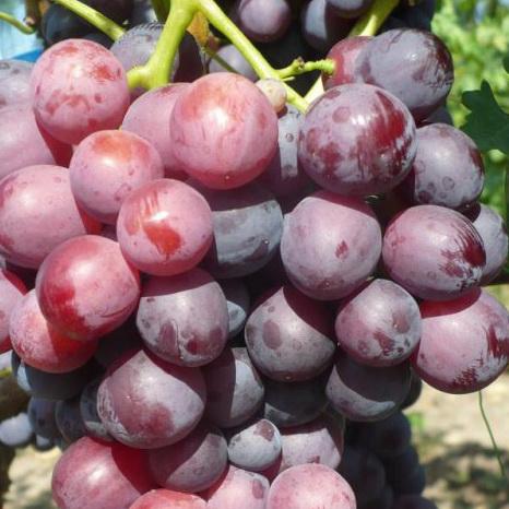 Виноград, сорт Кардинал