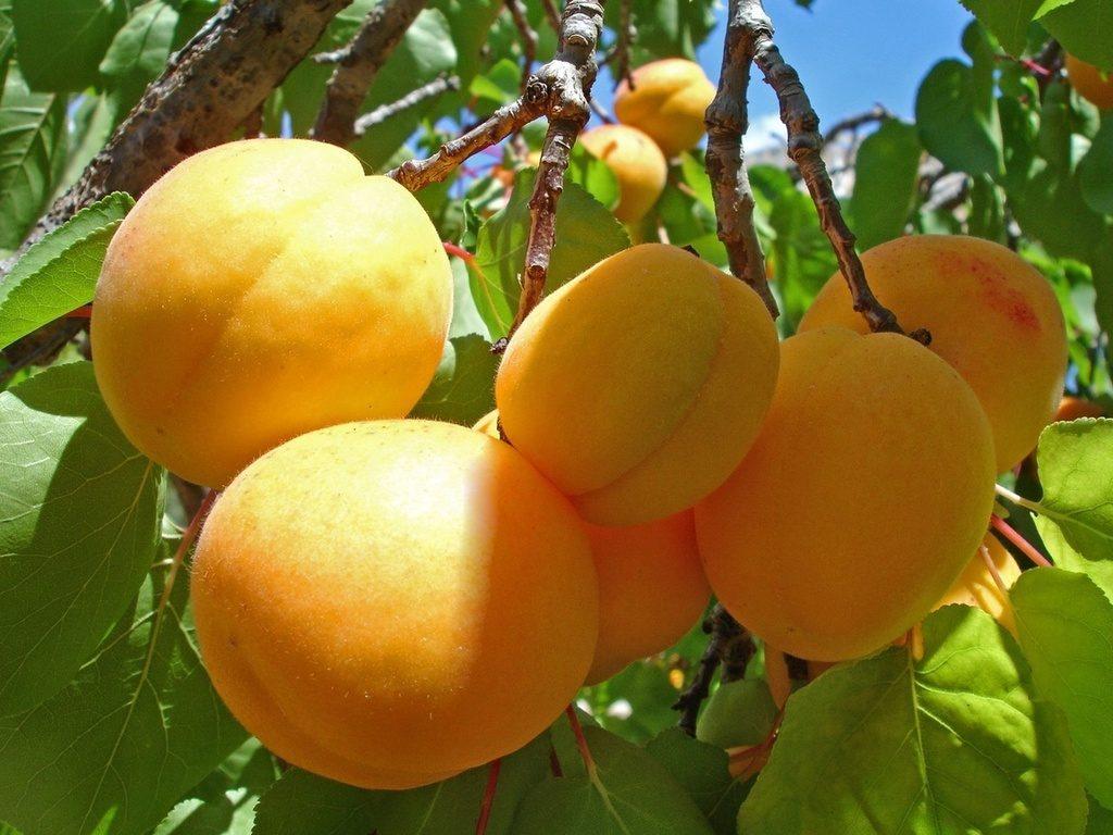 Крупные толкование сладкие и снов абрикосы