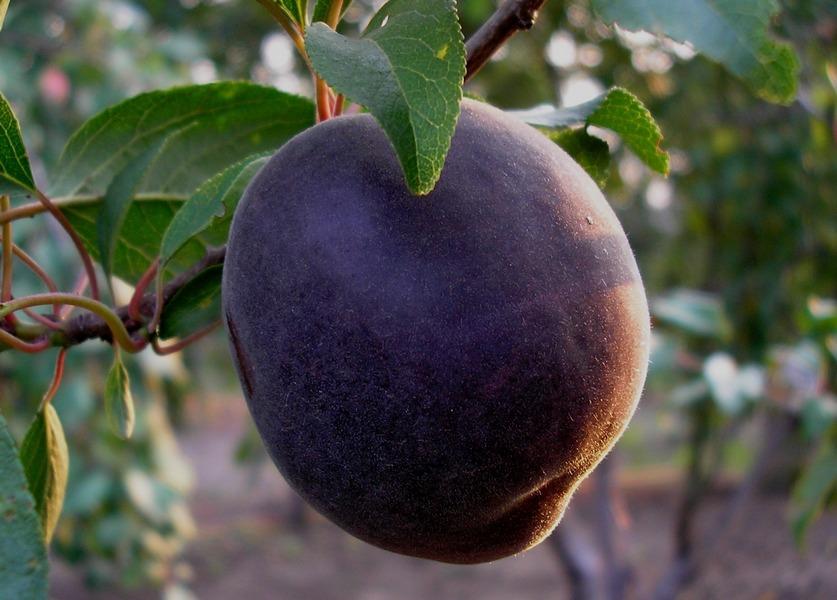 Абрикосоалыча или черный абрикос (сорта и уход)