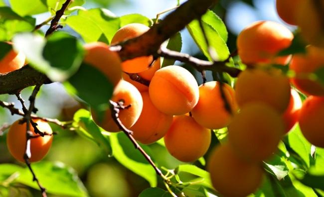 24122 Выращивание абрикоса