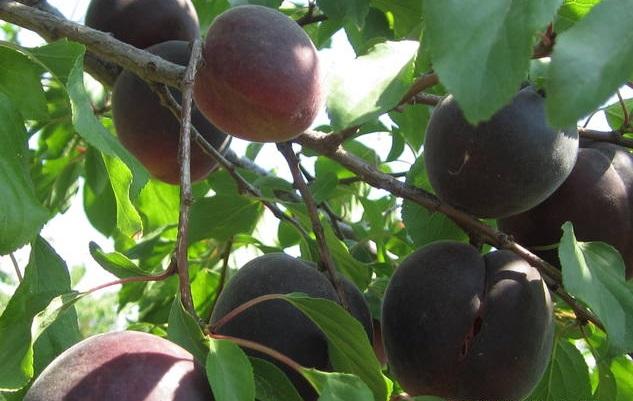 24131 Черный абрикос