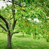 24137 Дерево абрикос