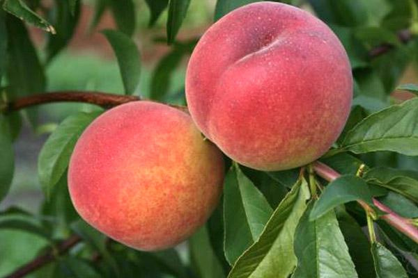 Персик, сорт Ред хавен