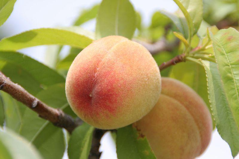 Персик, сорт Киевский Ранний