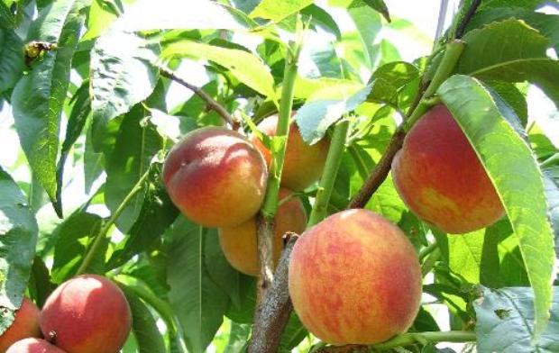 Персик, сорт Фаворит Моретини