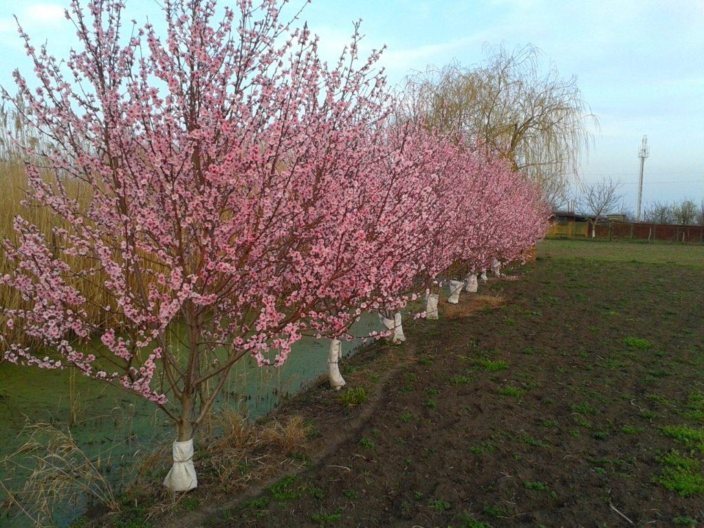 Посадка персика