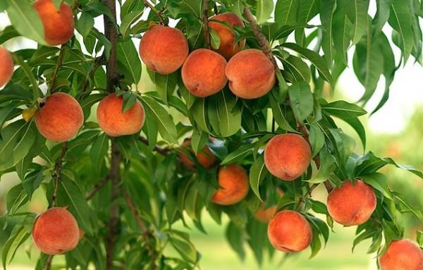24213 Выращивание персиков
