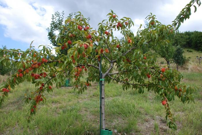 Персик дерево