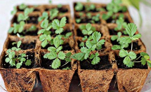 Выращивание рассады клубники из семян