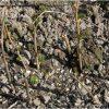 Обеззараживание черенков черной смородины
