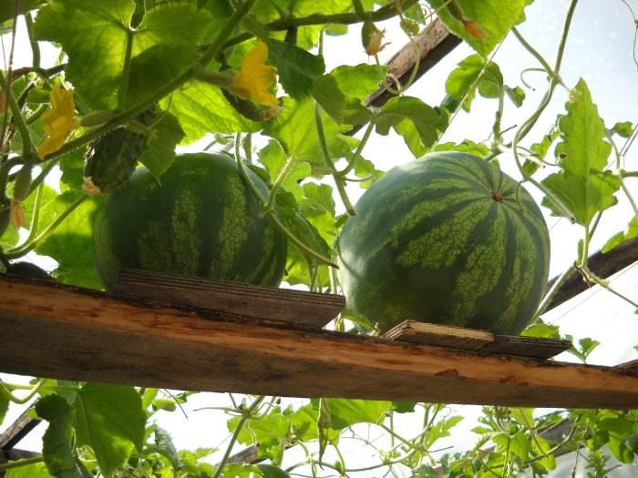 Выращивание бахчевых культур на своем участке