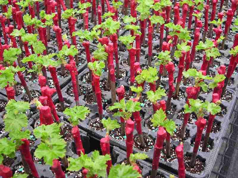24414 Размножение винограда черенками