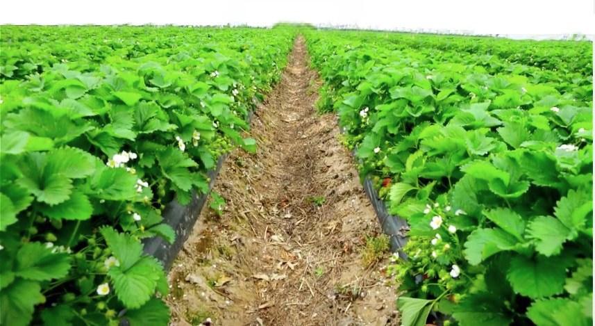 Посадка, выращивание и уход за клубникой