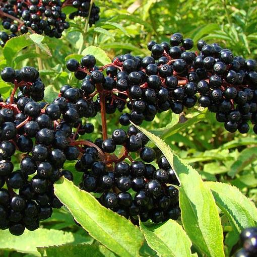 Бузина — ягода, продлевающая жизнь