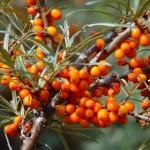 Облепиха — посадка, выращивание и уход за различными сортами