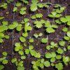 Посев земляники семенами фото - 8913 100x100