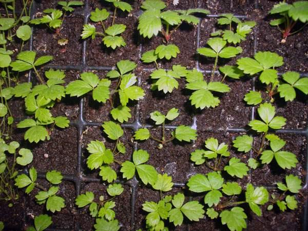 Посев земляники семенами