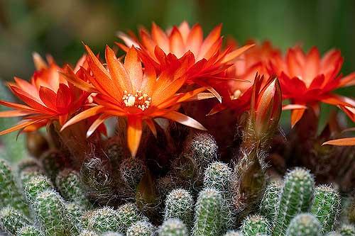 Как помочь кактусу зацвести