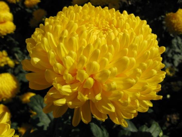 Пересаживаем хризантемы