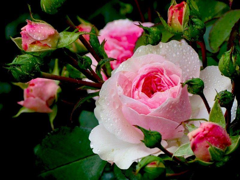 Выращивание роз из срезанных цветков