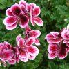 Пеларгония из семян фото - 9122 100x100
