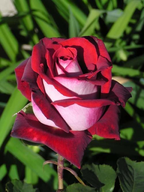 Розы из веток