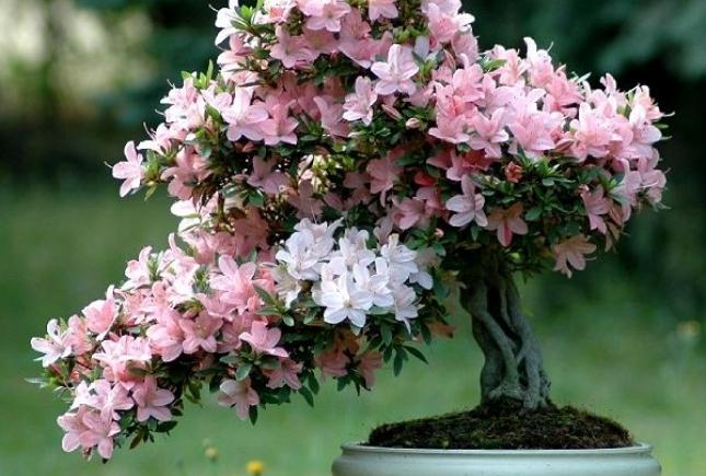 Азалия – красивый, но капризный цветок
