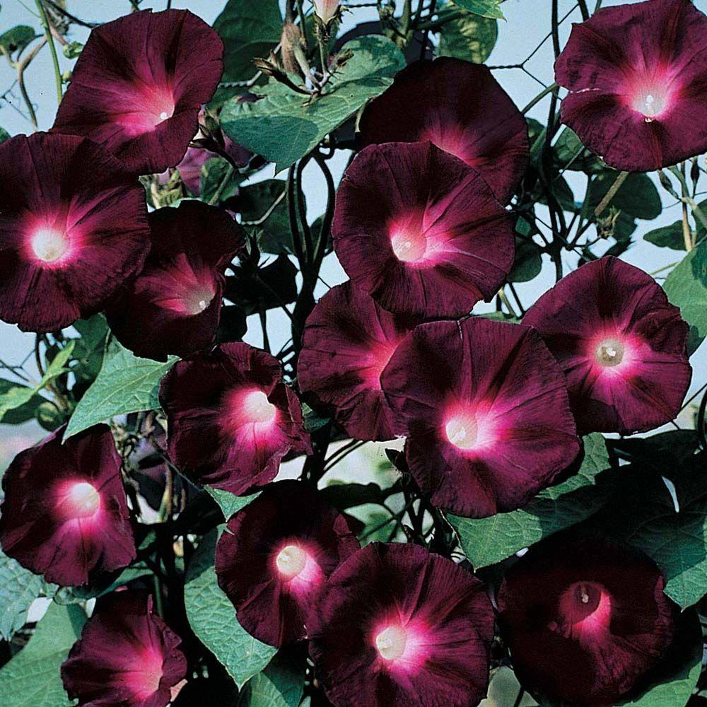 Ипомея, цветы радости