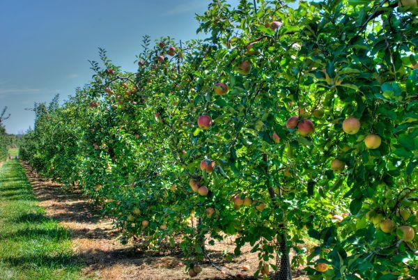 Содержание почвы под плодовыми деревьями