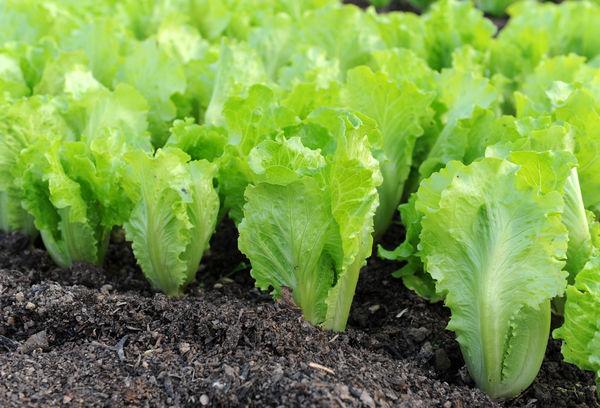 Как сажать салат