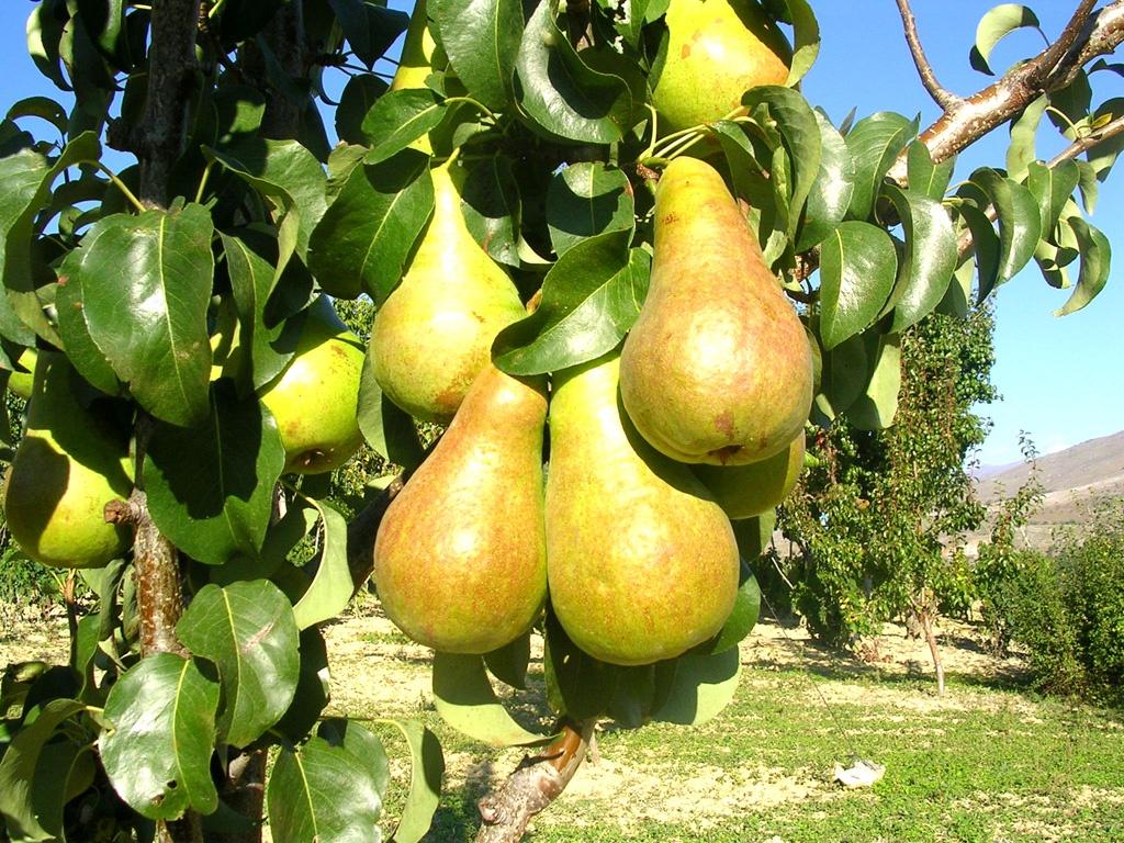 Как вырастить грушу, дающую хороший урожай