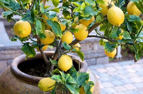Советы по выращиванию комнатного лимона