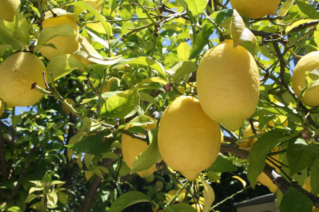 Посев лимона