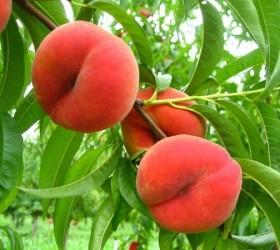 Посадка, выращивание и уход за персиком