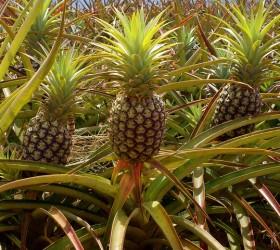 Посадка и выращивание ананаса в домашних условиях