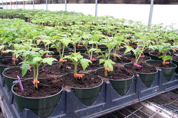 25143 Выращивание рассады помидор
