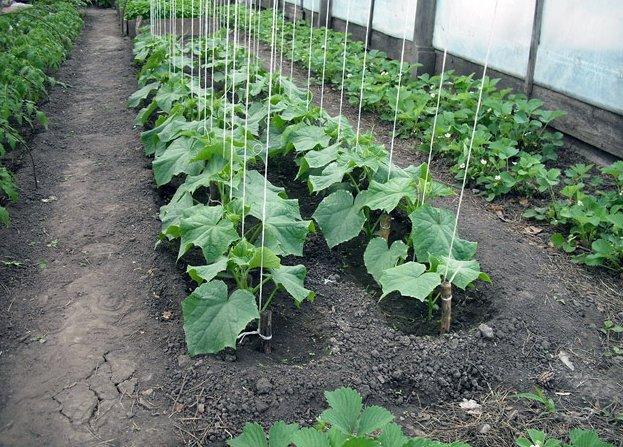 Технологические особенности выращивания огурцов в зимнее время в теплице