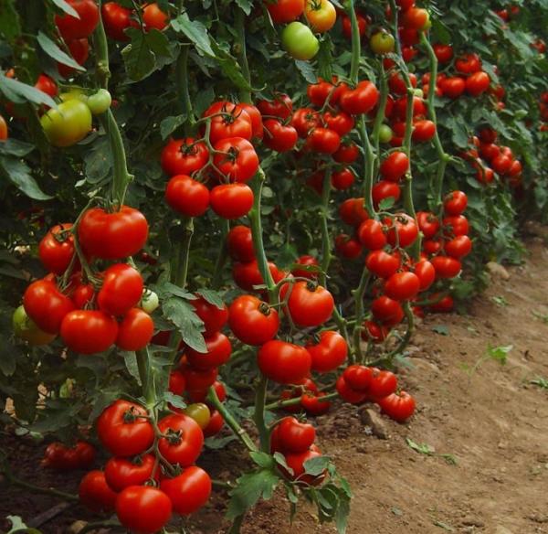 Какие томаты хорошо растут в теплице