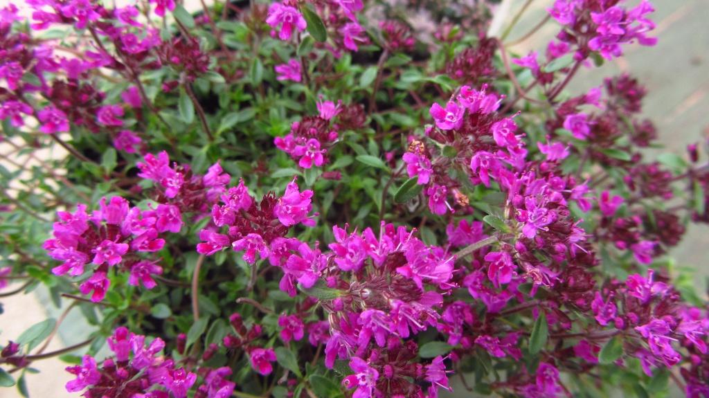 Полезные лекарственные растения в вашем огороде. Тимьян ползучий