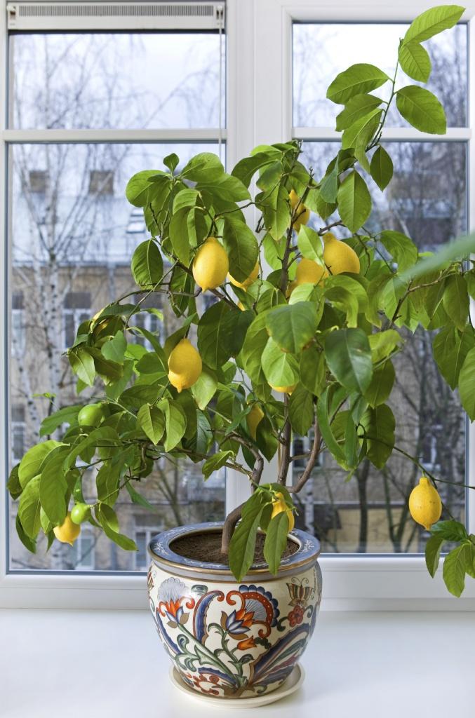 Выращиваем лимонное дерево дома