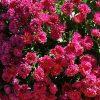 Посадка хризантем. Разводим красоту