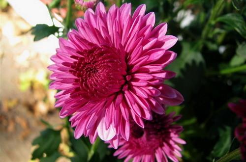 Хризантема садовая. Уход за цветами
