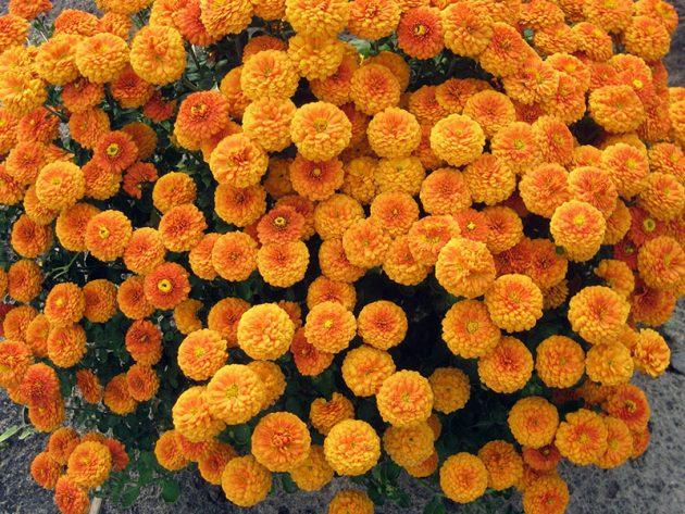 Сорта хризантемы