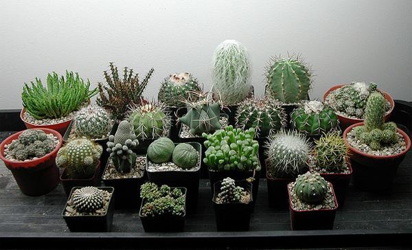 Выращиваем кактус в домашних условиях