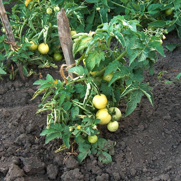 Сажать или не сажать томаты