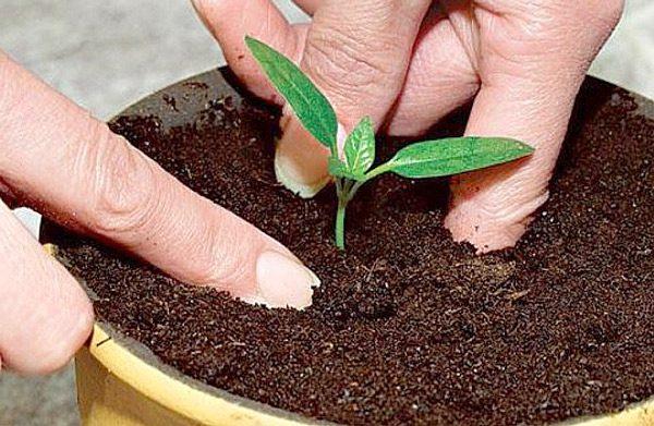 Пикируем и высаживаем рассаду